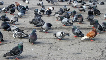 Some tame pigeons those who resting on a park