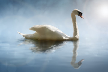 Swan with reflections