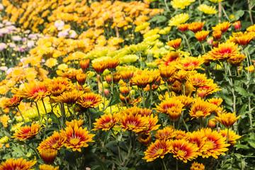 detail of colorful chrysanthemum flowers