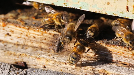 The bee shares information with other bees