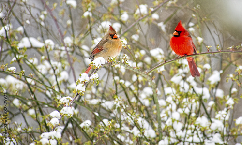 mata magnetyczna Male and female Cardinals perch in a snowy rose bush.