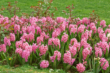Pink hyacinth flower bed
