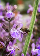 Bee Pollinating Violet Flower