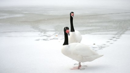 Two black necked swans move their heads up and down