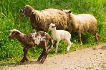 Pecore corrono felici al pascolo