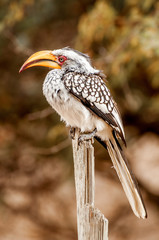 Souther Yelllow Billed Hornbill on Stick