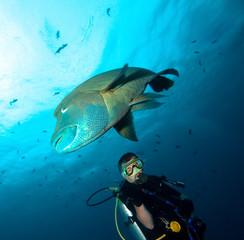 Napoleon fish and diver