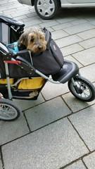 Hund im Kinderwagen