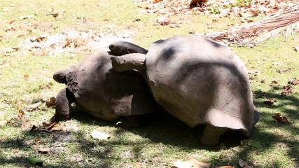 Male courts the female Aldabra giant tortoise