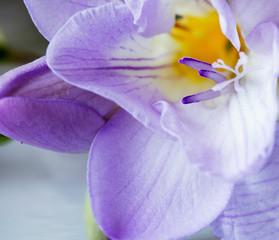 artistic macro of purple freesia