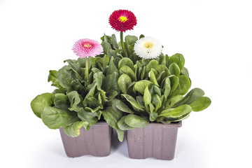 Pink, red and white daisy flower, Bellis Perennis