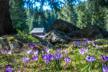 Crocuses in Chocholowska valley, Tatras Mountain, Poland