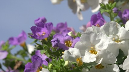Bacopa in front of blue sky