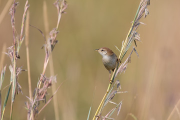 Small brown cisticola sitting and balance on grass stem