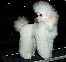 Miniature Poodle looks back on the show.