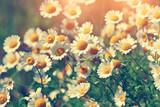 Vintage wilde chamomile flowers