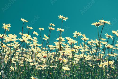Naklejka Vintage chamomile flowers against blue sky