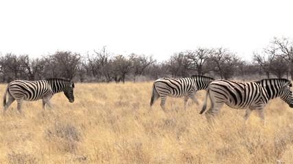Zebras in african bush. Etosha national Park