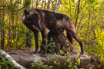 Black Wolf (Canis lupus) Stands Atop Rock and Feeds Her Pups