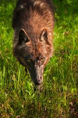 Black Wolf (Canis lupus) Stalks Forward