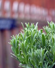 lavender plant growing in garden