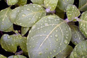 sacred hopi tobacco after rain