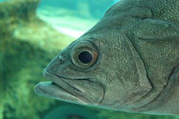 Big fish face