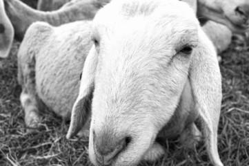 Sheep closeup. Black and white photo
