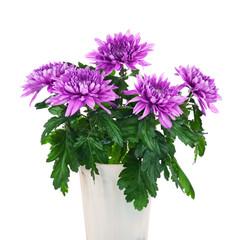 Bouquet of chrysanthemums in flower pot.