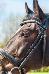 Head of thoroughbred brown horse in bridle, eye in close up.