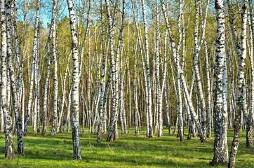 birch grove in the woods
