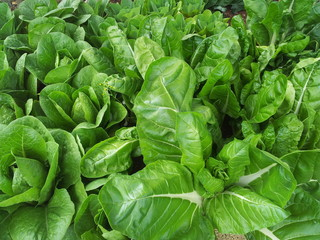 coltura di verdure