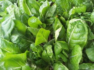 piante di spinaci e bieta in campo