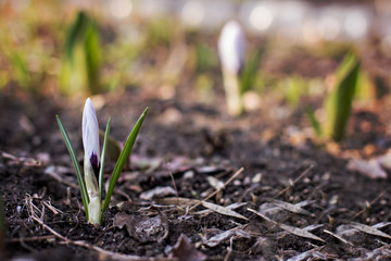 crocus flower growing out of the ground