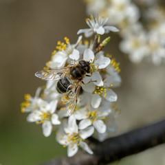 Pszczoła zbiera nektar z kwiatu tarniny