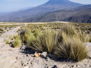 Pampas grass the Reserva Nacional Salinas y Aguada Blanca, Peru