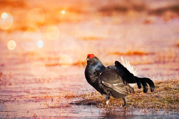 Black Grouse in the bog early in the morning