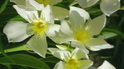 Yellow-white flowers swaying in the wind