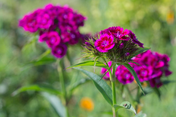 colorful pink flowers in green grass in summer garden