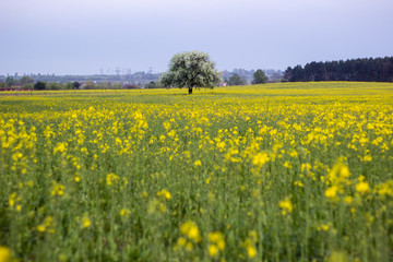 flowered tree in green grass and yellow flowers at summer field