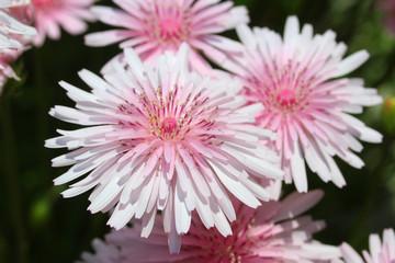 クレピス(モモイロタンポポ) - Pink hawksbeard