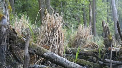 Chiffchaff's nest on marsh