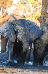 Bull elephant at waterhole, Botswana