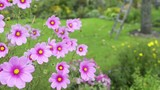 Anfliegende Biene bestäubt die Cosmea Blume