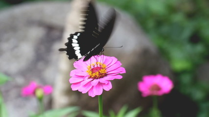 Mormon butterfly sucking food from flower