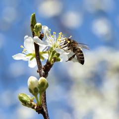 bee pollinates a flower cherry closeup