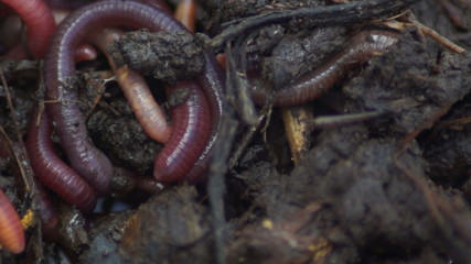 Earthworms show clustered.Bait for fish