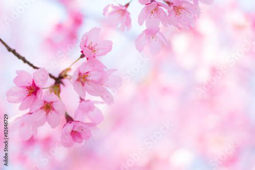 Poster 陽光桜(ヨウコウザクラ)