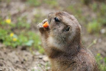 Prairie dog eating a carrot