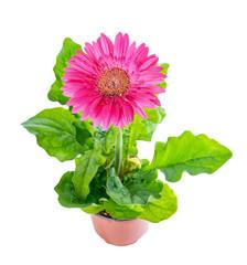 top down of beautiful blooming pink flower gerbera in flowerpot